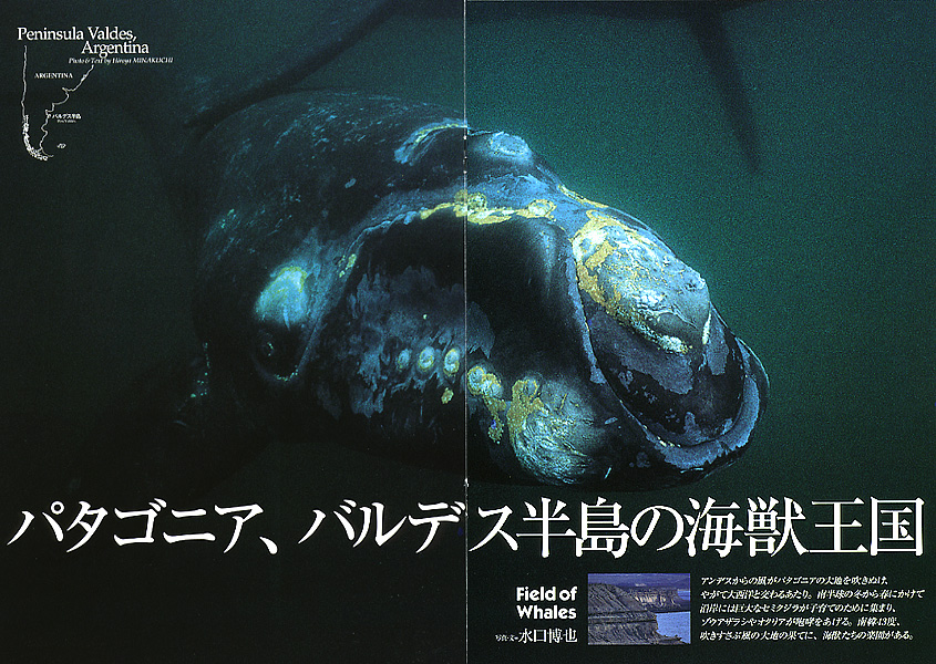 セミクジラの画像 p1_30